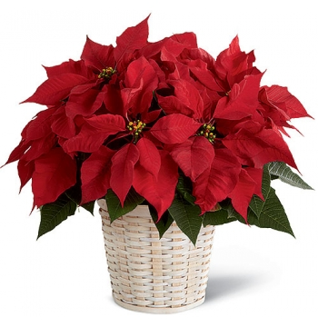 Red Poinsettia Planter Send to Manila