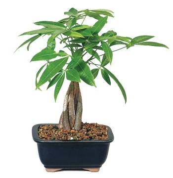 Ficus Nana Specie Plants in Manila