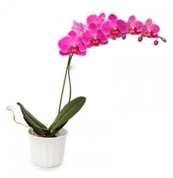 Pink Color Orchids Plant