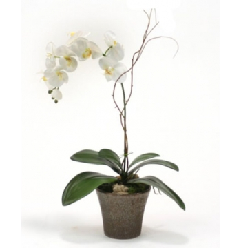 ​Phalaenopsis Orchid Plant in Orchid Pot​