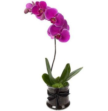 Phalaenopsis Yellow Orchids Plants