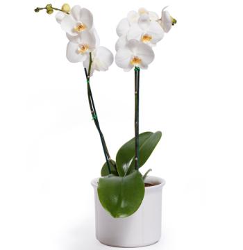 Beautiful White Phalaenopsis Orchid - Double Stem